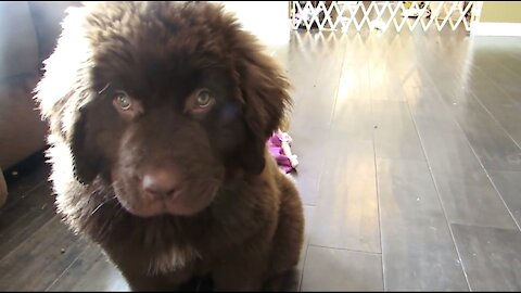Newfoundland puppy training results in total epic fail