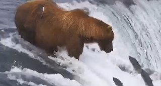 Salmon Leaps Right Into Massive Bear's Mouth
