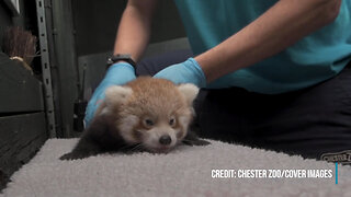 Adorable Red Panda Twins First Health Check-Up