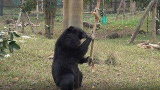 Moon Bear Goes on a Treasure Hunt for Food - Video