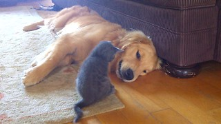 Brave kitten pounces on Golden Retriever - Video