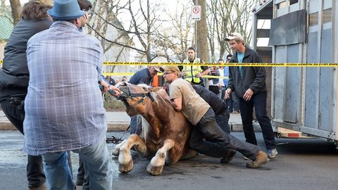 Heart breaking footage shows frantic attempt to help carriage horse stand after tripping and falling to the ground