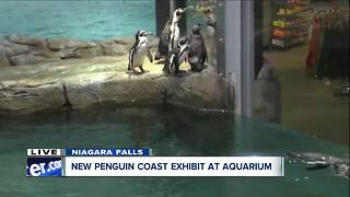 Penguins enjoying new habitat at Aquarium of Niagara