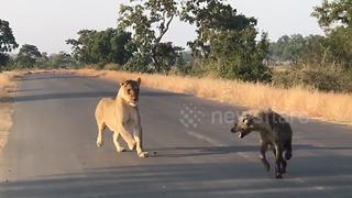 Lioness ambushes hyena in Kruger National Park - Video