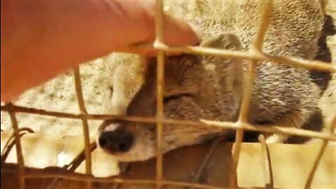 Adorable rescued mongoose loves head scratches!
