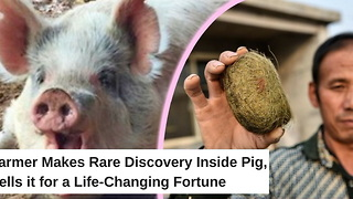 Farmer Makes Rare Discovery Inside Pig, Sells it for a Life-Changing Fortune - Video