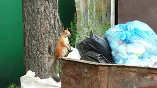 Squirrel checks the dumpster.