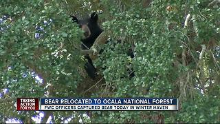 FWC captures, relocates bear from neighborhood - Video