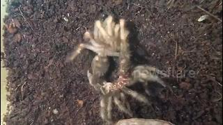Mexican red knee Tarantula moulting - Video