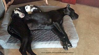 Puppy joins Great Dane for precious nap time