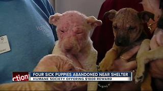 Sick puppies abandoned on the sidewalk, just steps from shelter doorstep - Video