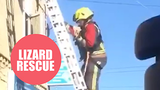 Firefighters rescue pet iguana after it got trapped on a roof SUNBATHING - Video