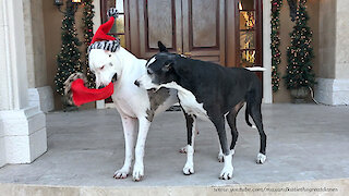 Deaf Great Dane swipes friend's Christmas hat