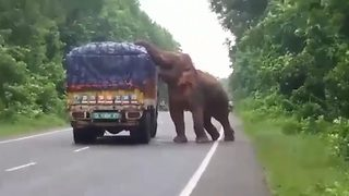 Hungry Elephant Halts Truck To Munch On Potatoes To Its Heart's Content - Video