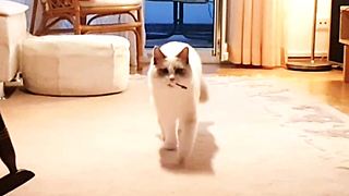 Ragdoll cat thinks he's a dog, loves playing fetch - Video