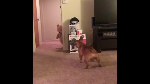 French Bulldog Is Afraid Of A Teddy Bear Because It Thinks It's Real