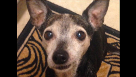 Senior Chihuahua impressively learns new trick