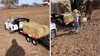 Adorable little boy feeds cows with his own mini trailer
