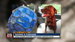 Gopher tortoise found painted blue in Pasco County, FWC investigating