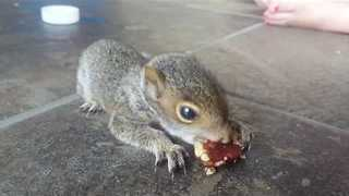 Baby Squirrel Munches on a Pecan - Video