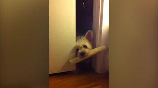 Adorable Dog Can't Fit A Stick Through The Door - Video