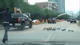 Ducks Shepherded Off Busy Road in Houston - Video