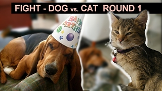 Fighting dog Basset Hound with a cat  - Video
