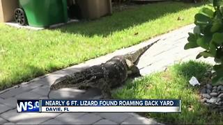 Florida family finds massive lizard roaming around home
