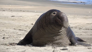 Elephant Seal Colony Takes Over Drakes Beach During Government Shutdown