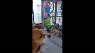 Gentle beagle makes friends with tiny hamster - Video