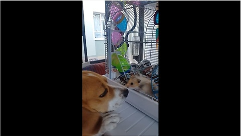 Gentle beagle makes friends with tiny hamster
