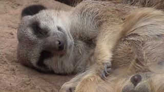 Lazy meerkat won't get up for anything - Video