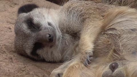 Lazy meerkat won't get up for anything