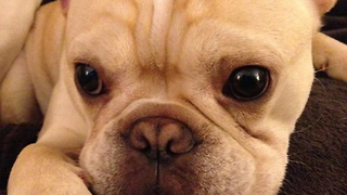 Bullwinkle the French Bulldog Gets a Talking To  - Video