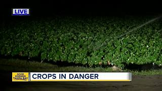 Plant City strawberry farmers concerned about crop during cold snap - Video