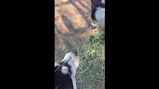 A horse and his husky best friend chomp on tasty hay together