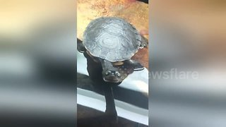 Turtle reigns supreme in staring contest with camera - Video