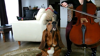 Basset Hound sings along to owner's cello practice - Video