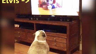 Bulldog recognizes sibling on TV, has priceless reaction - Video