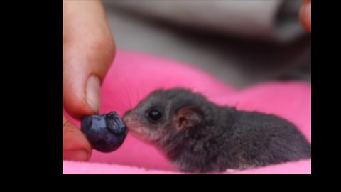 Tiny Possum Munching on Fruit for First Time Is Just the Cutest