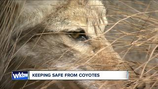 How to keep coyotes away from property, pets and kids - Video