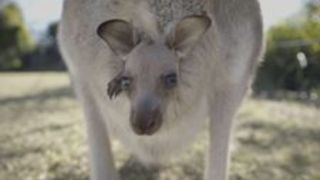 Little Roo Surveys the World From Mum's Pouch - Video
