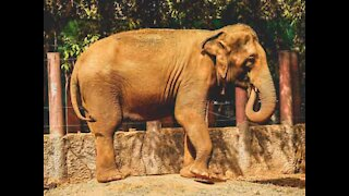 Elephant roars with happiness after being reunited with keeper