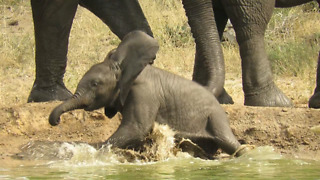 Clumsy Baby Elephant Suddenly Falls Into A Watering Hole