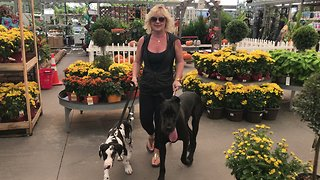 Pair of Great Danes enjoy first trip to garden store