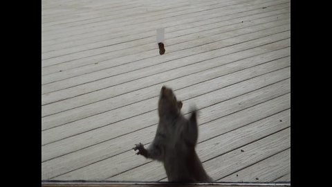 Squirrel Trying to get Food is Hilarious