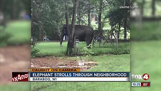 Elephant Strolls Through Neighborhood - Video