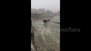 Bulky Cow Goes Ice Skating Down A Slippery Surface - Video