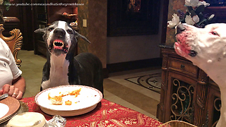 Funny Great Dane SMILES for a Chicken Treat  - Video