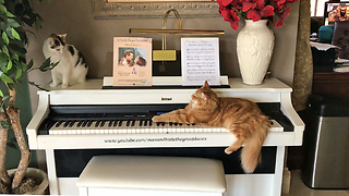 Jack the Cat Plays Piano with Cat Audience  - Video